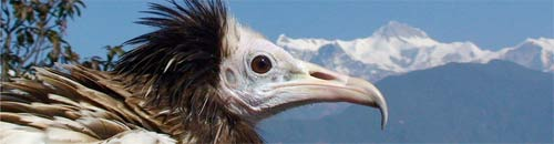 Himalayan-Raptor-Rescue
