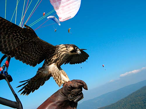 Chris Bessei, one of two winners of Nova's Pilot of the Year, was involved in a project flyig with Peregrine falcons.
