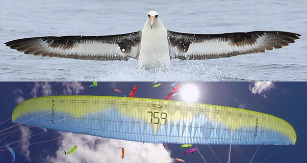 Spot the difference ... an albatross and a comp paraglider